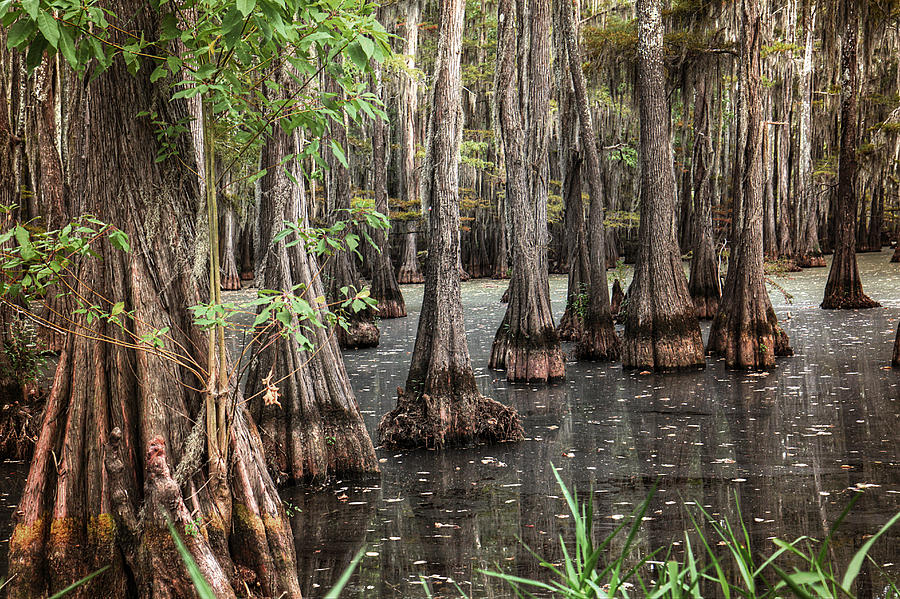 Swamp Photograph - Dark Swamp by Ester McGuire