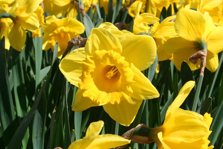 Daffodils Photograph - Darling Spring Daffodils by Mary Gaines
