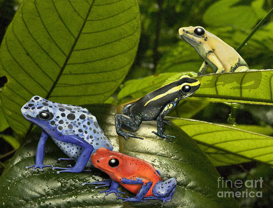 Dart-poison Frogs - Poison-dart Frogs Dendrobatidae - Baumsteiger Frosch - Pijlgifkikkers Painting