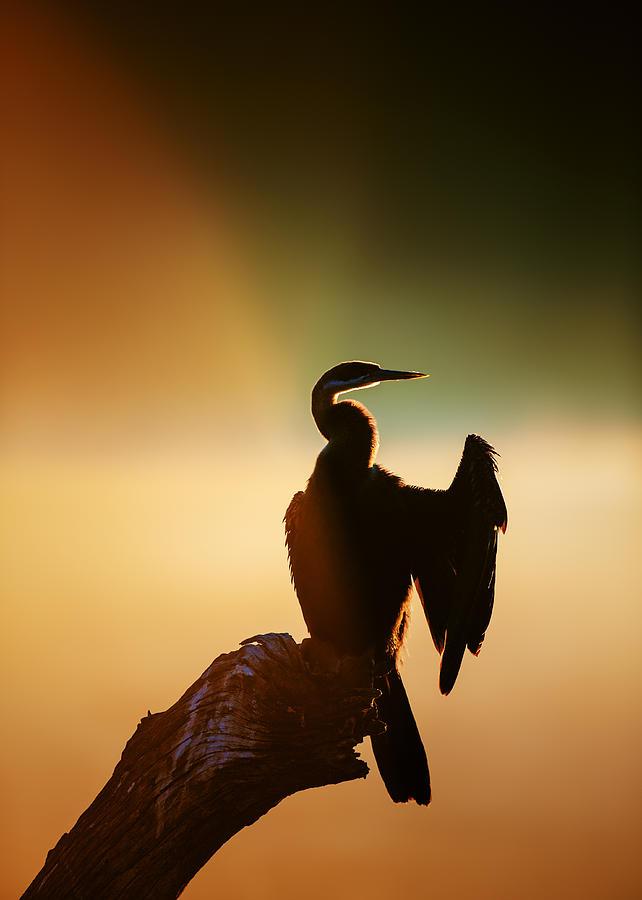 Darter Photograph - Darter Bird With Misty Sunrise by Johan Swanepoel