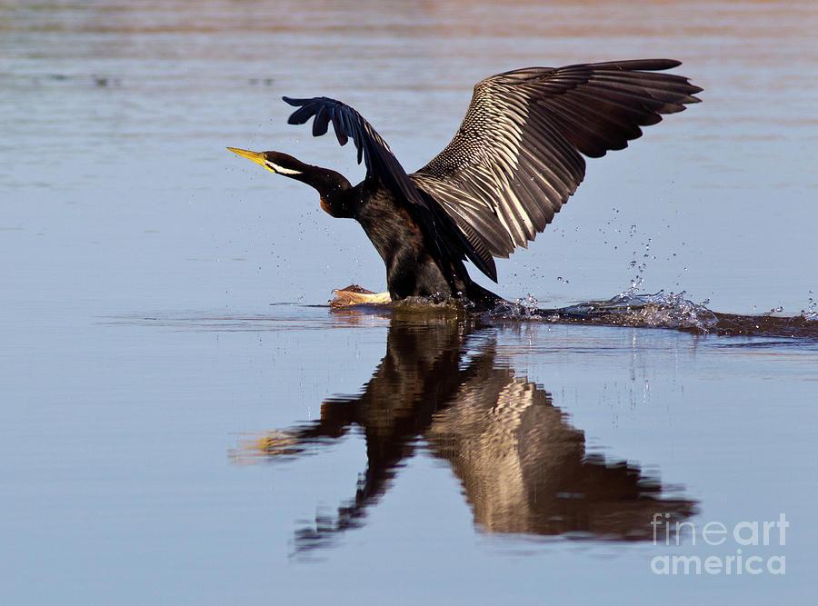 Darter Landing Photograph by Bill Robinson
