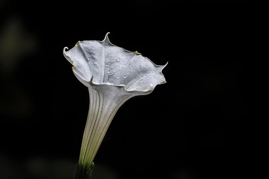Datura Bloom Photograph
