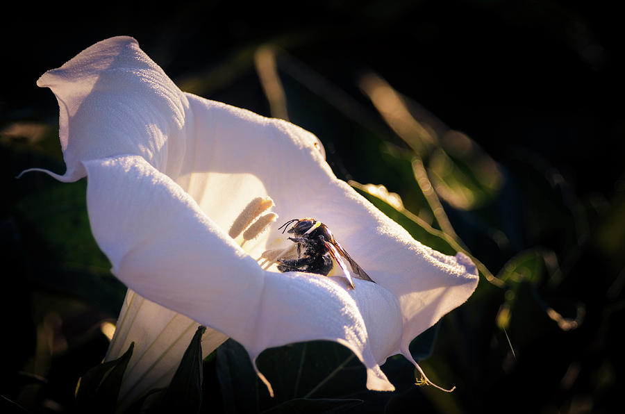 Bee Photograph - Datura Flower with Bee by Emily Bristor