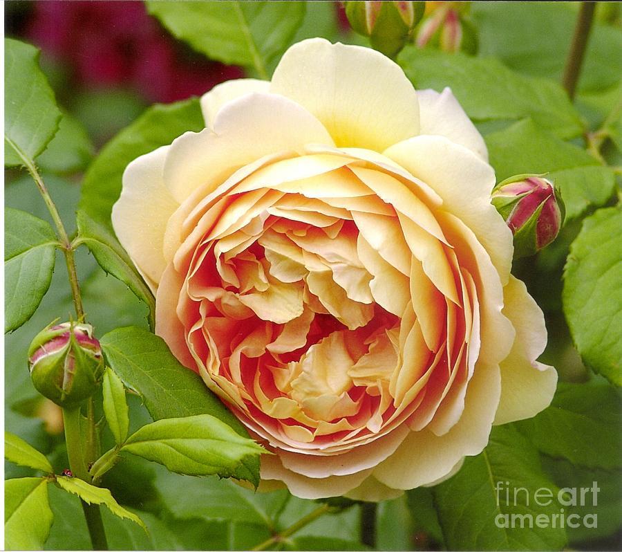 david austin rose golden celebration 1 photograph by rod ismay. Black Bedroom Furniture Sets. Home Design Ideas