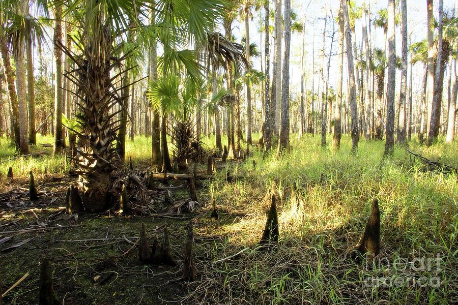 Cypress Photograph - Dawn in the Florida Forest by Matt Tilghman