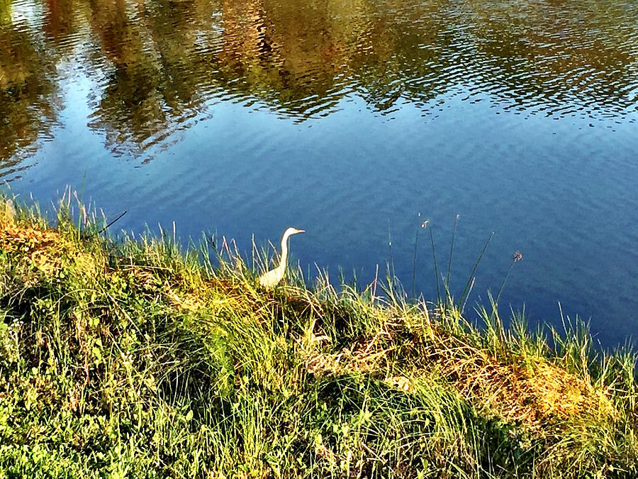 Heron Photograph - Dawn of the heron by Diane Sleger