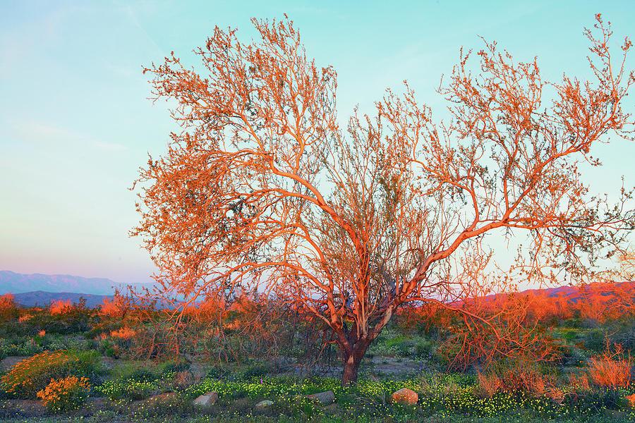 Dawns First Light At Joshua Tree National Park Photograph