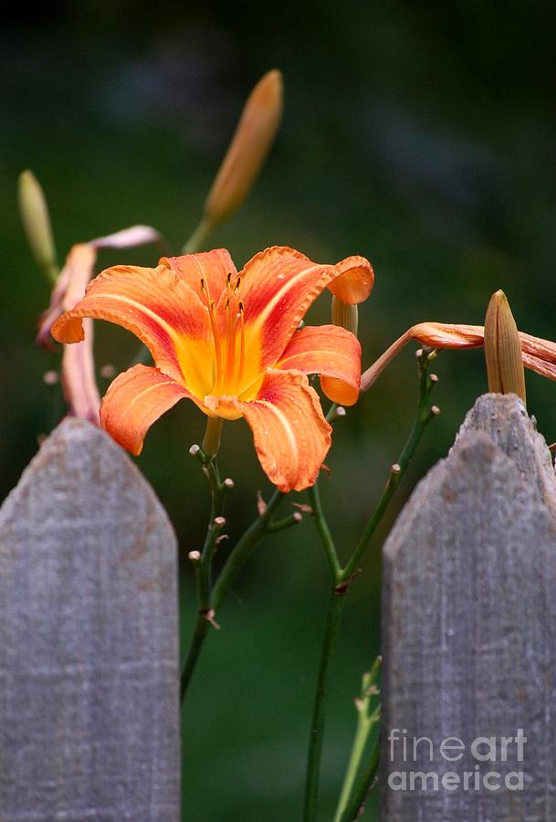 Digital Photograph Photograph - Day Lilly Fenced In by David Lane