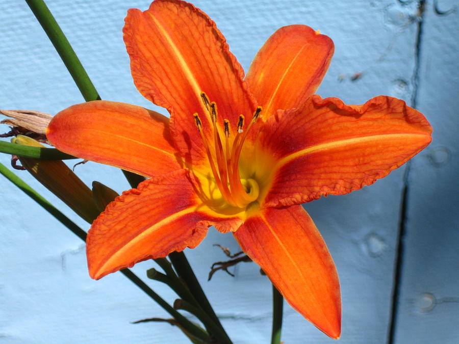 Flower Photograph - Day Lily by David OShea