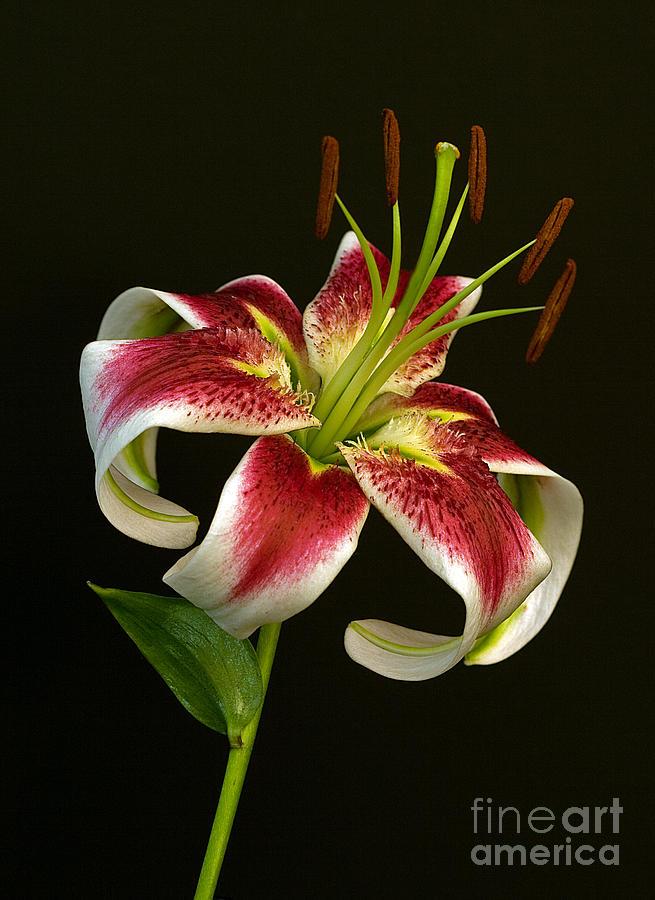 Day Lily Majesty by Robert Pilkington