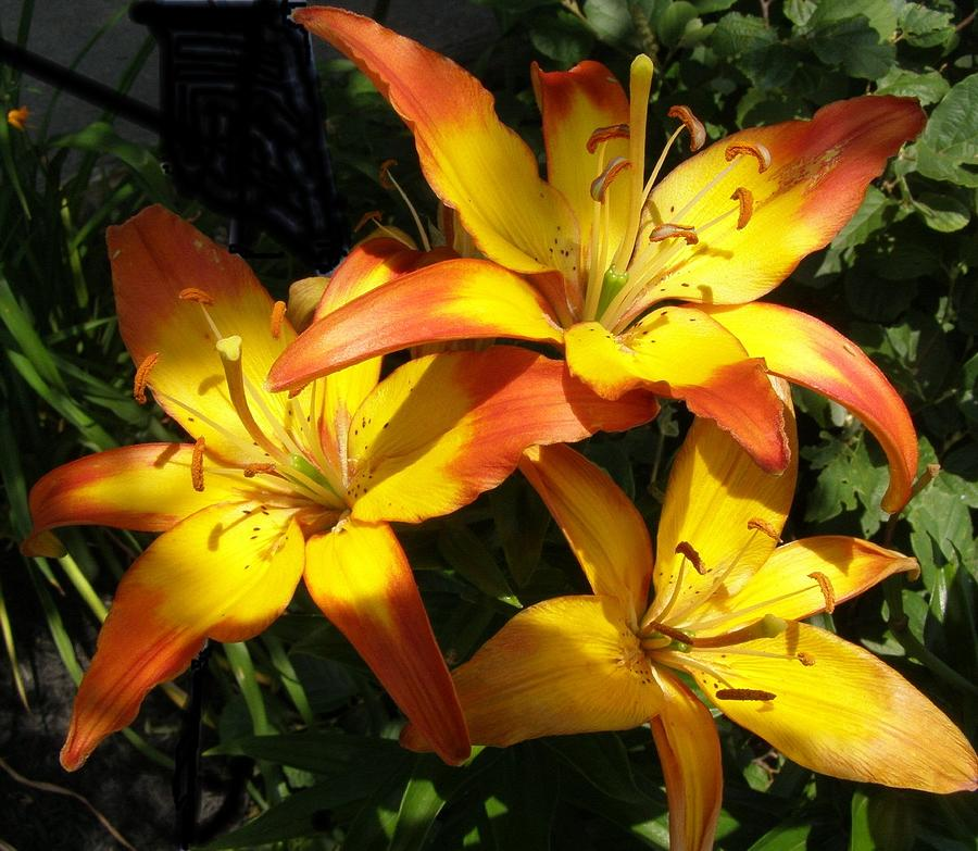Daylilies Photograph - Daylilies Dressed In Their Best by Jeanette Oberholtzer