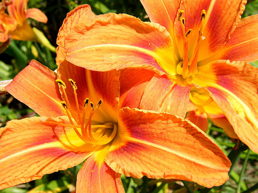 Flowers Photograph - Daylillies In Bloom by Margaret G Calenda