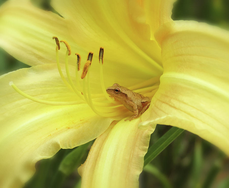 Daylily Frog - Side View by MTBobbins Photography