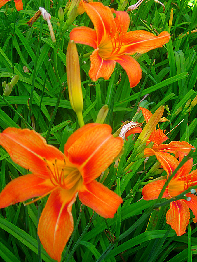Guy Ricketts Art And Photography Photograph - Daylily Greeting by Guy Ricketts
