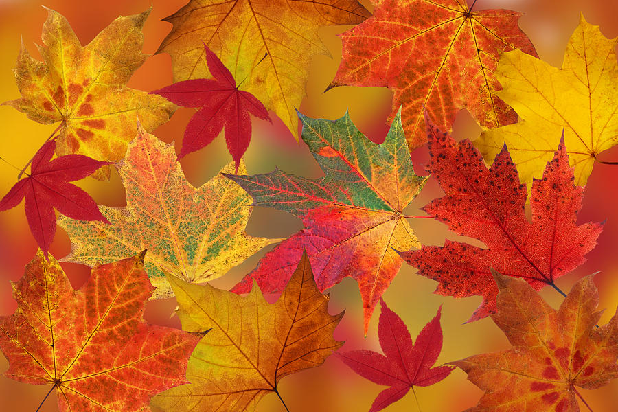 Dazzling Autumn Leaves by Gill Billington
