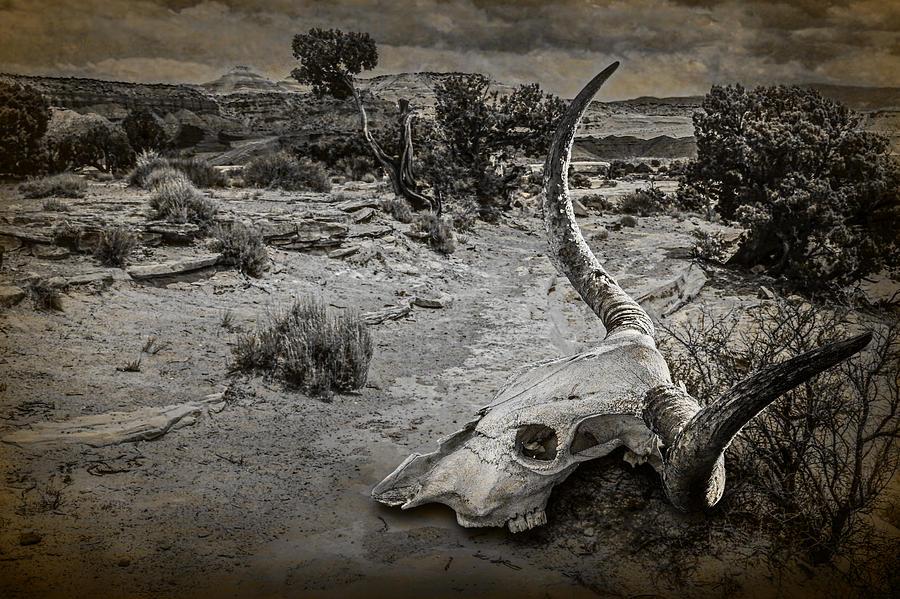 cow skull and desert - photo #15