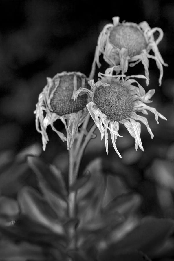 Dead Flowers Photograph By Steve Gravano