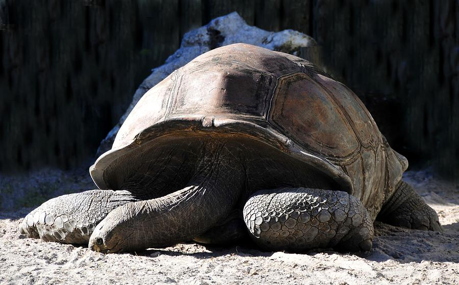 Tortoise Photograph - Dead Tired by David Lee Thompson
