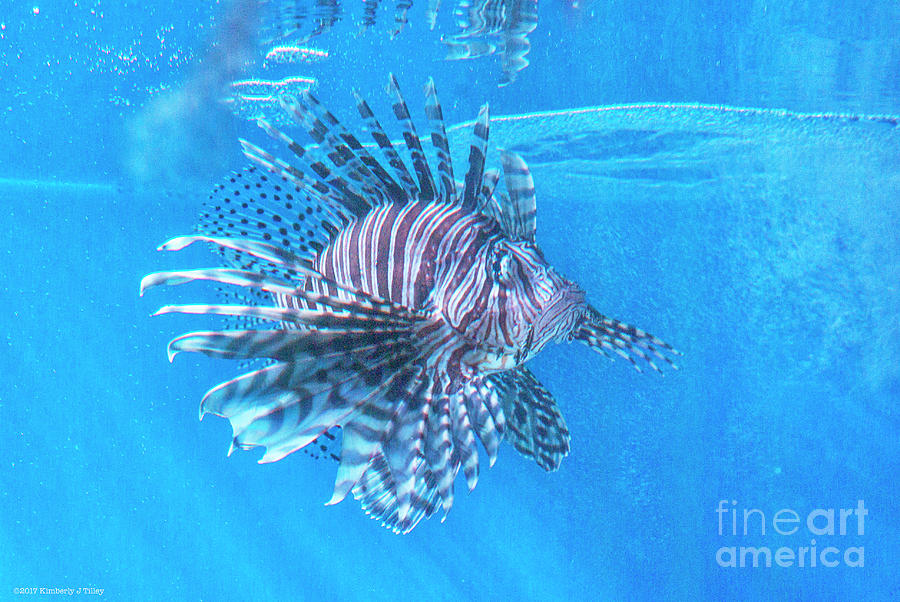 Lionfish Photograph - Deadly Beautiful  by Kimberly Tilley