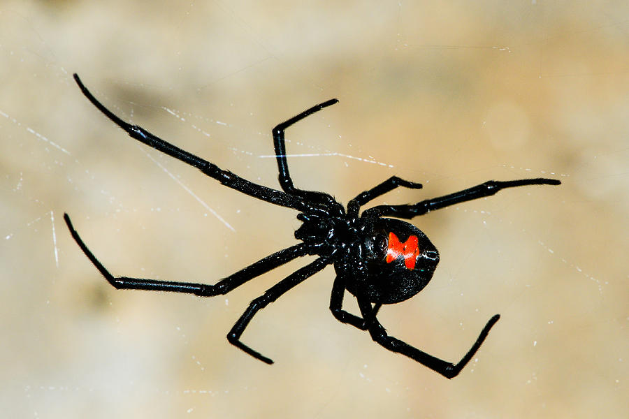 Black Widow   Photograph - Deadly Hourglass by David Waldo