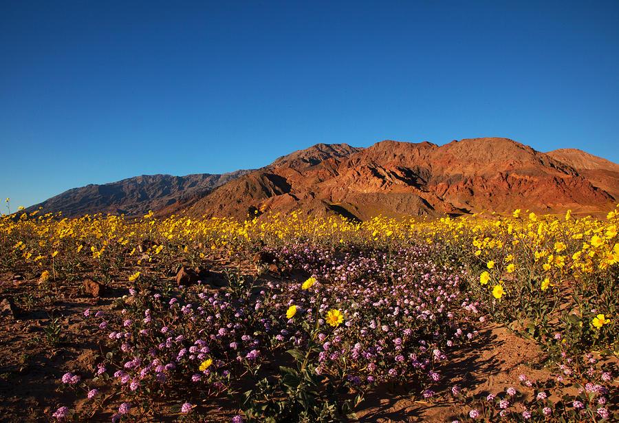 Death Valley Superbloom 2 by Susan Rovira