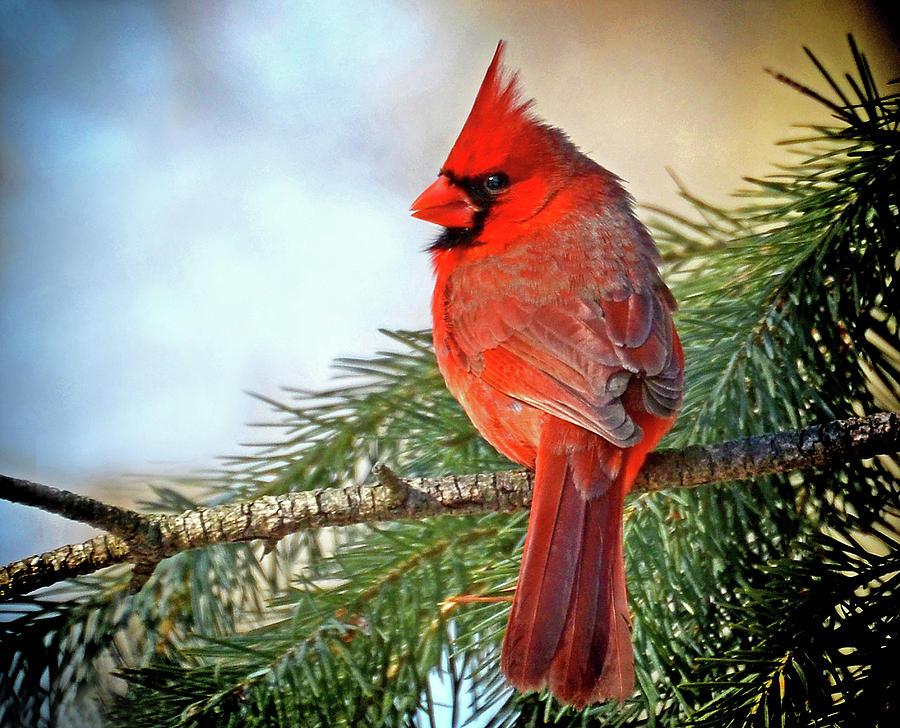 December's Cardinal by Rodney Campbell