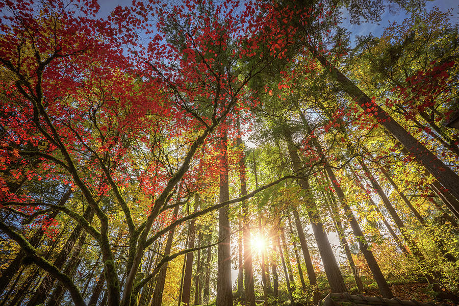 Oregon Photograph - Decorated By Japanese Maple by William Freebilly photography