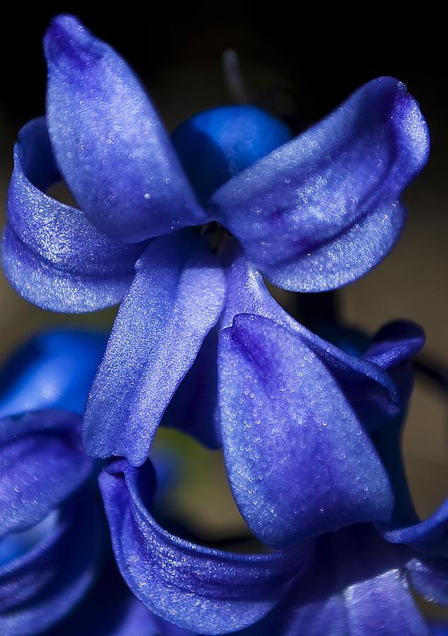 Blue Photograph - Deep Blue Flower by Svetlana Sewell