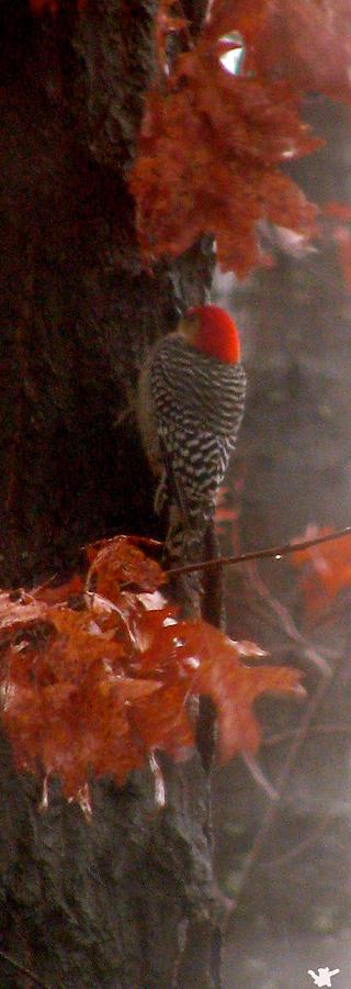 Red Headed Woodpecker Photograph - Deep In The Forest Woodpecker by Debra     Vatalaro