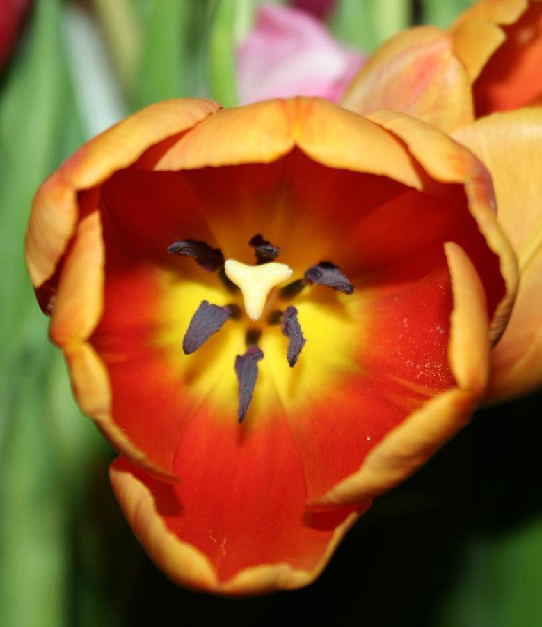 Tulip Photograph - Deep by Magda Levin-Gutierrez