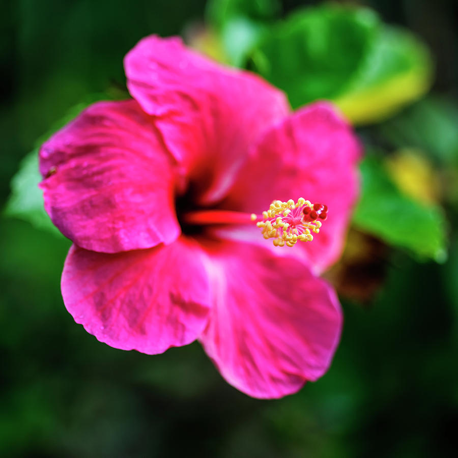 Deep pink hibiscus flower photograph by vishwanath bhat hibiscus photograph deep pink hibiscus flower by vishwanath bhat izmirmasajfo