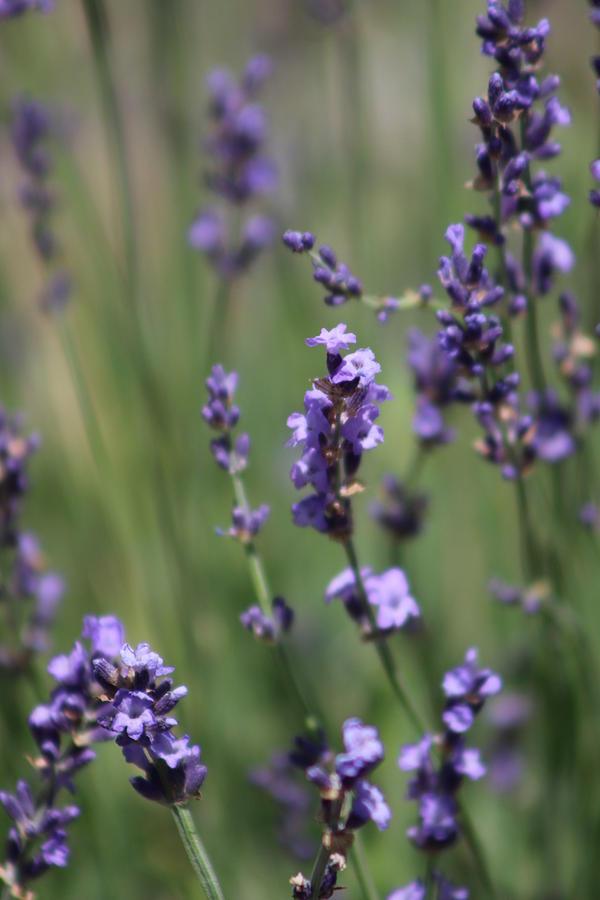 Deep Purple Photograph - Deep Purple Lavender Spikes by Colleen Cornelius