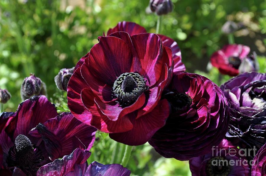 Deep Ranunculus by Bridgette Gomes