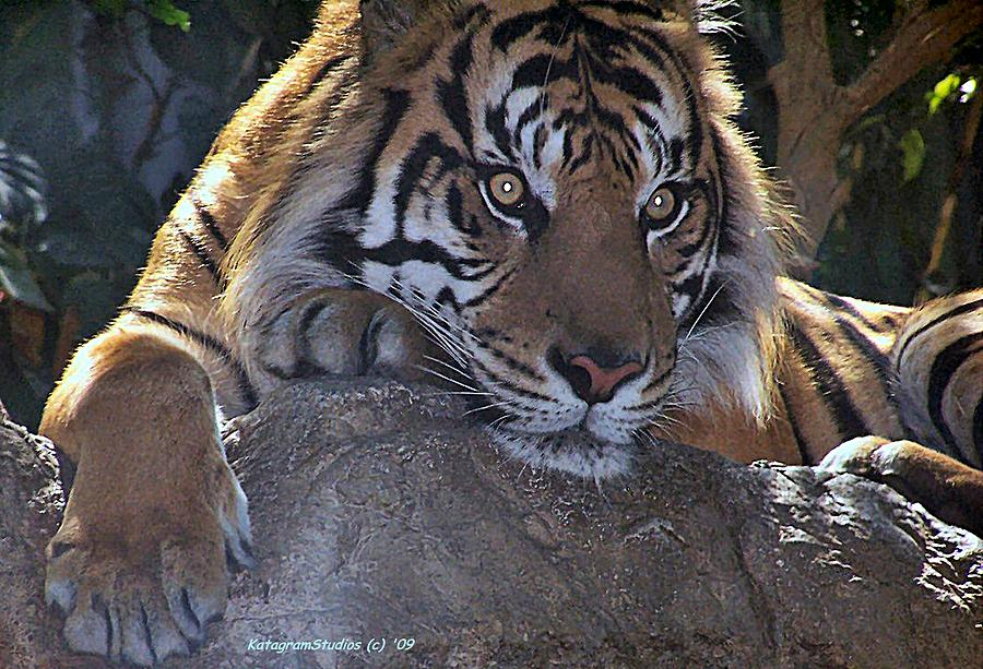 Tiger Photograph - Deep Thought by KatagramStudios Photography