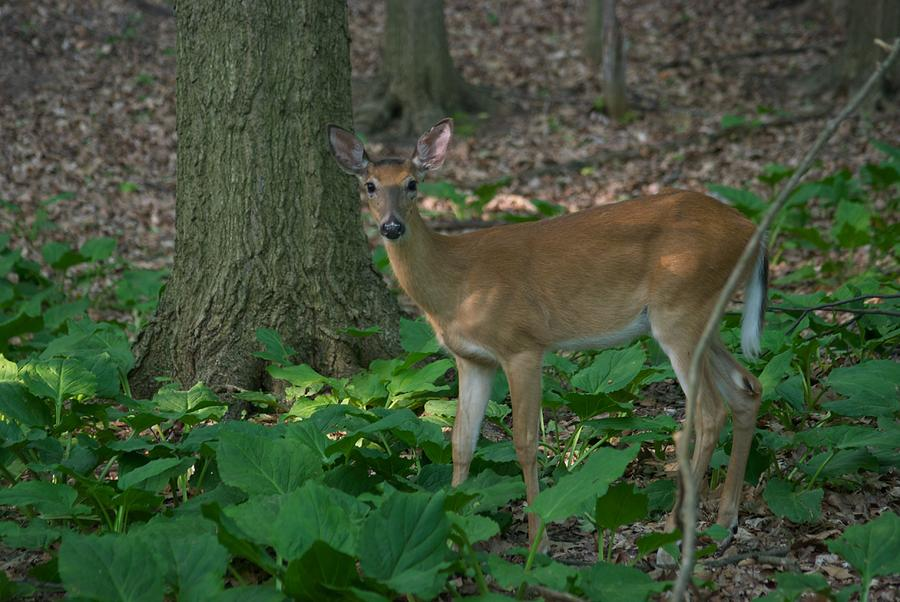 Animal Photograph - Deer 7414 by Michael Peychich
