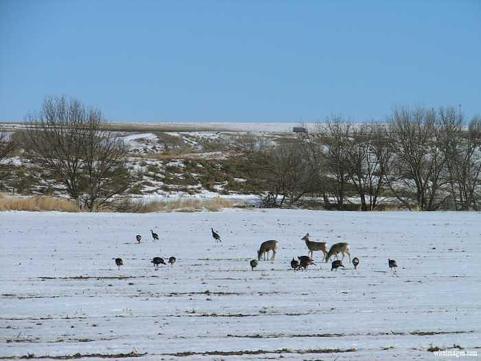 Deer And Turkey Grazing Together Photograph by Stan Hutchins