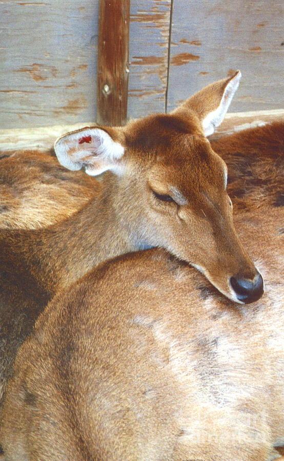 Deer Photograph - Deer by Andrea Simon
