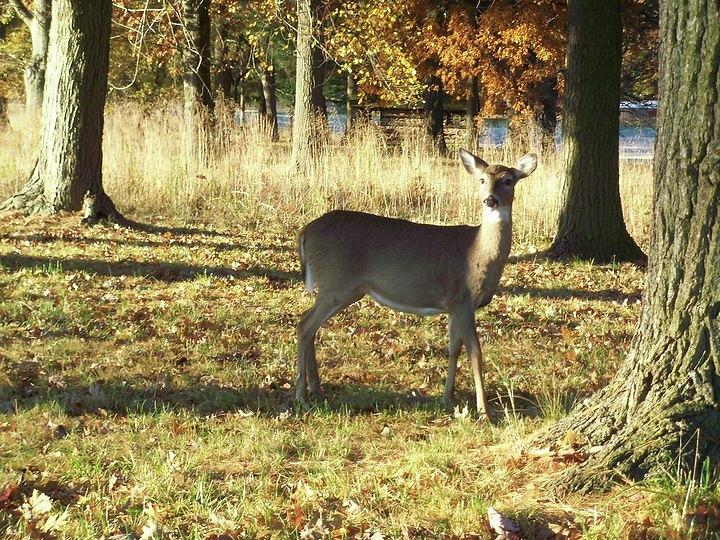 Deer at Valley Forge by Francis Chester