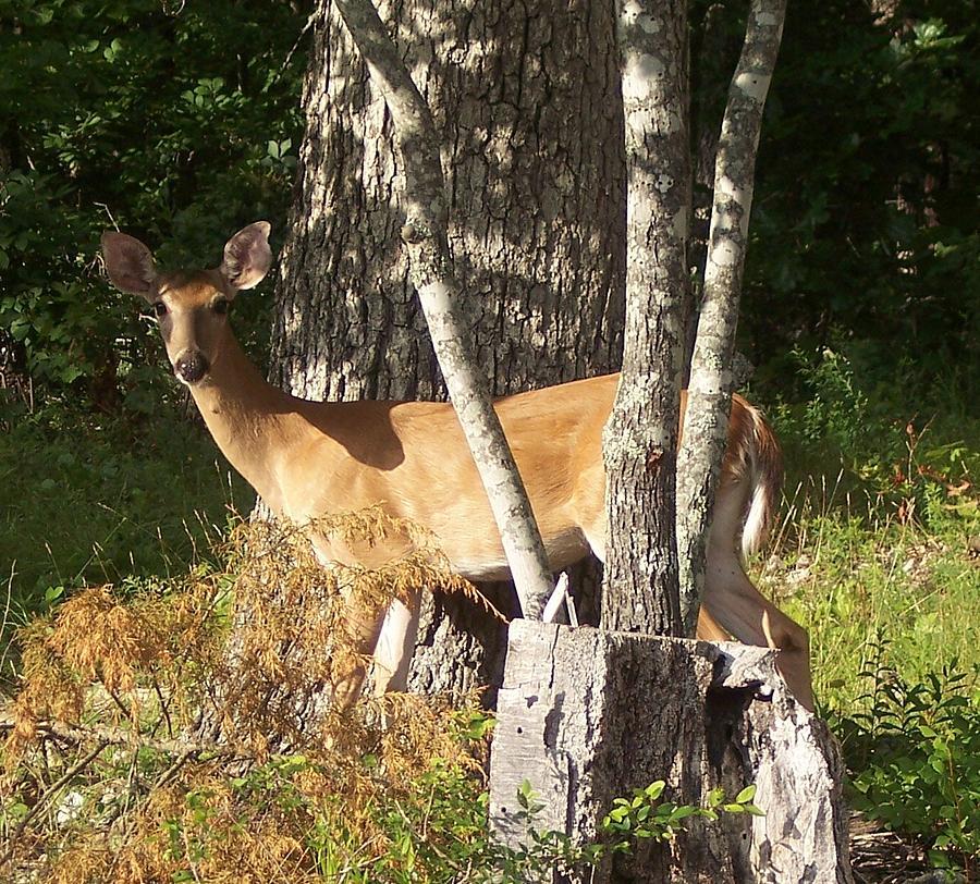 Wildlife Photograph - Deer Between Trees by Jessica Sanders