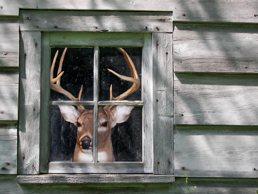 Cabin Photograph - Deer Blind by Maria Dryfhout