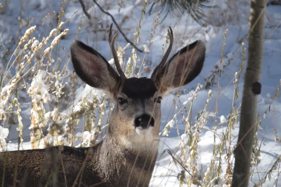 Deer Buck by Margarethe Binkley