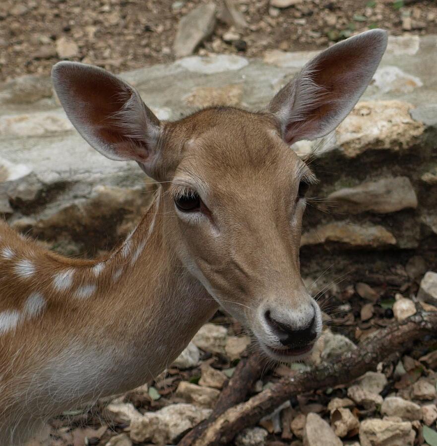 Deer Photograph - Deer by Dennis Stein
