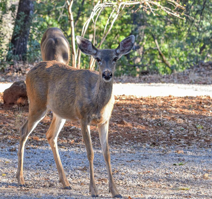 Deer Photograph - Deer Doe - 1 by Alan C Wade