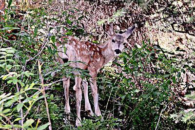 Deer Photograph - Deer Fawn by Gene Mace