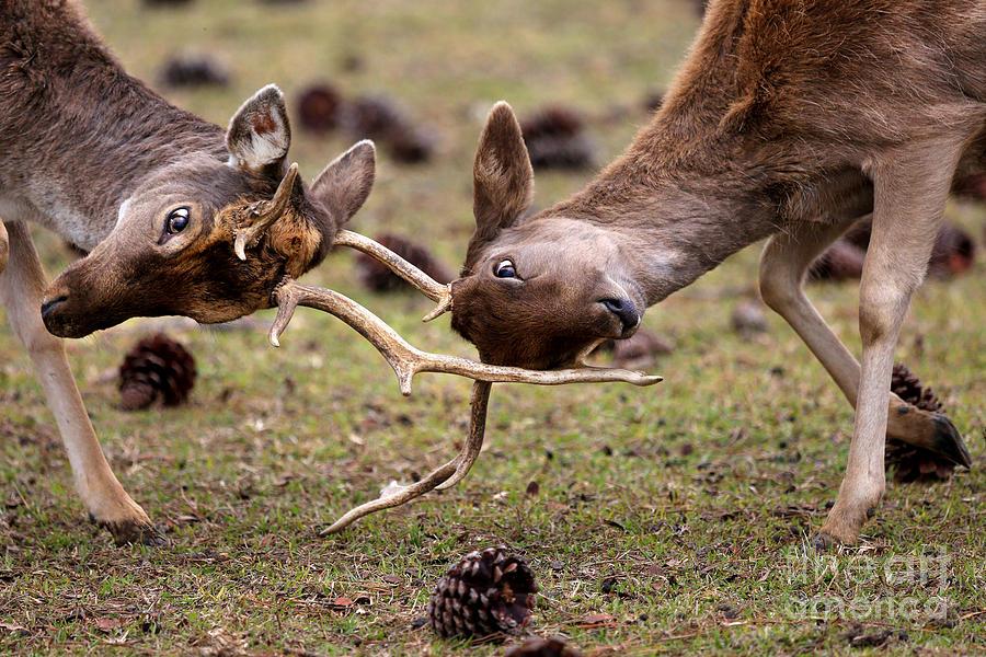 Deer Photograph - Deer Games by Kathy Eastmond