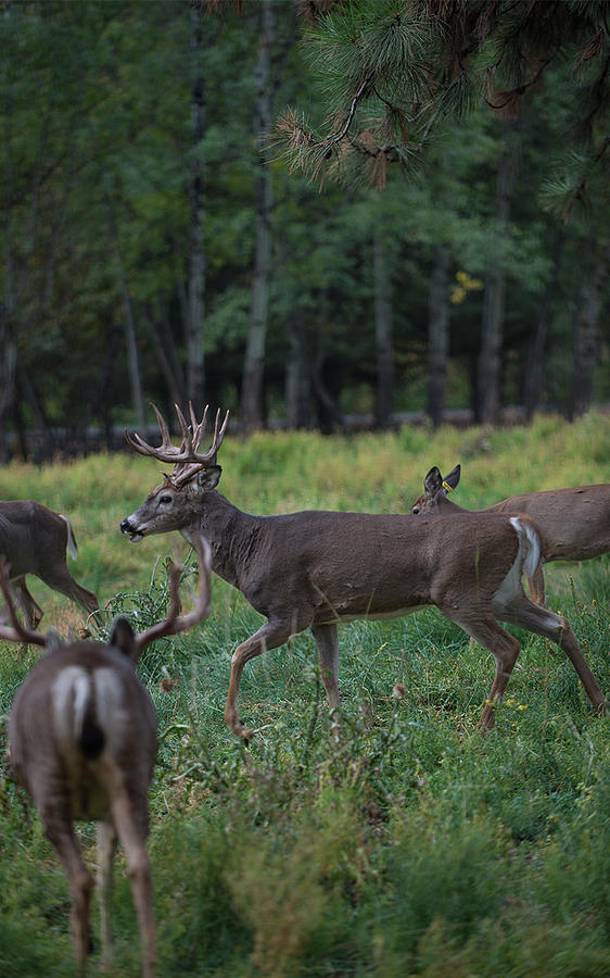 Deer Photograph - Deer herd by Roy Nierdieck