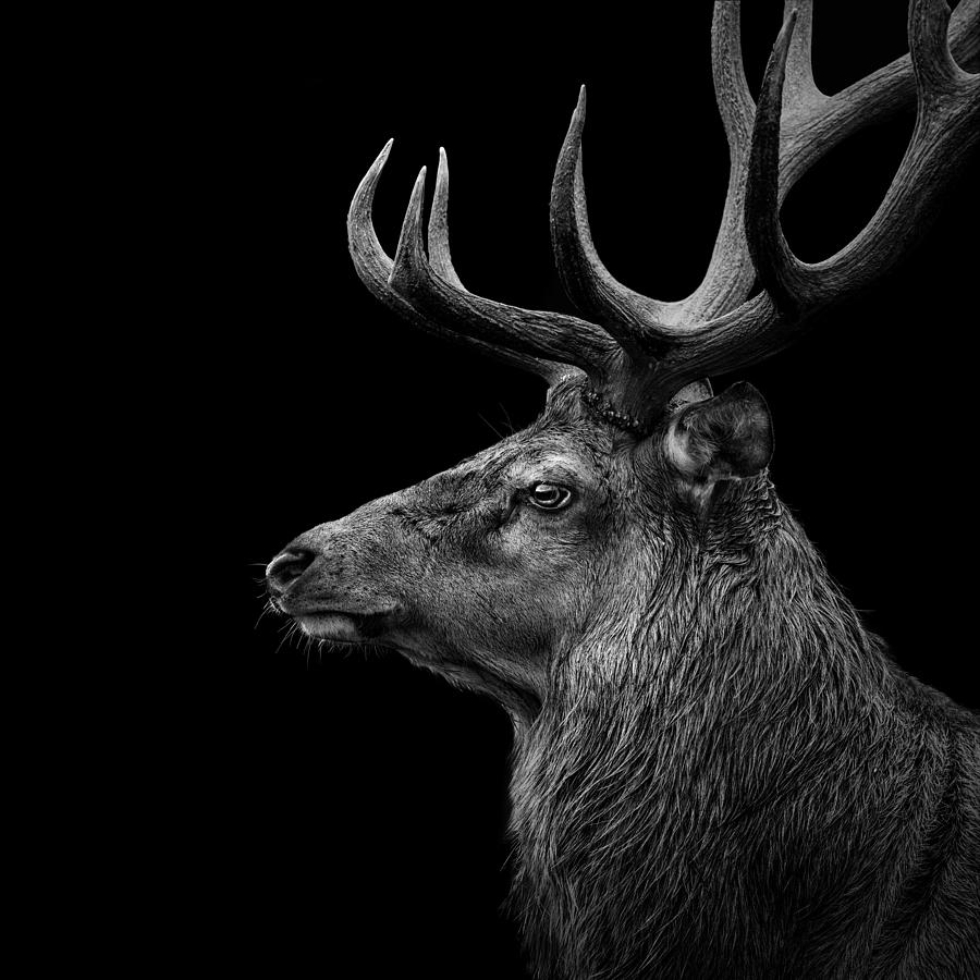 deer in black and white photograph by lukas holas