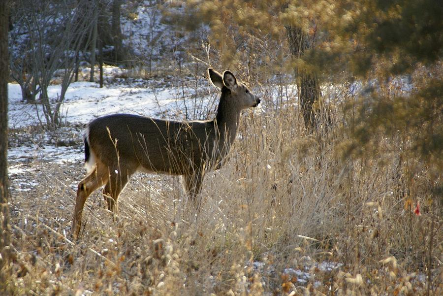 Deer Photograph - Deer in Morning light by Toni Berry
