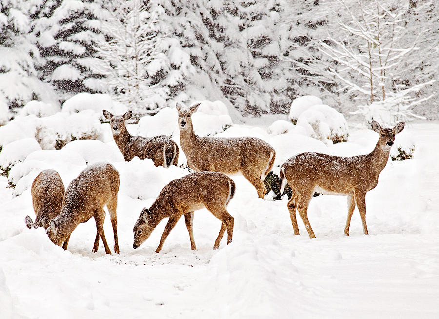 Deer Photograph - Deer In The Snow 2 by Angel Cher