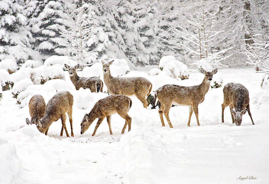 Deer Photograph - Deer In The Snow by Angel Cher